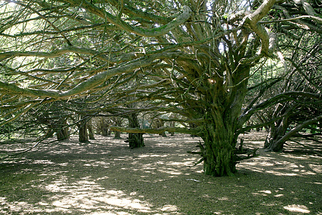 Great Yews woodland