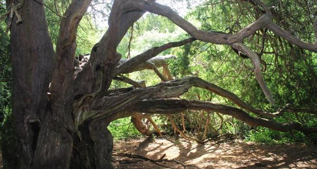 Ancient yews at Kingley Vale