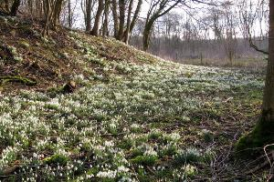 These snowdrops can be found on the Staffordshire Wildlife Trust