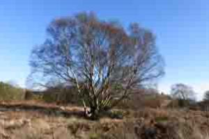 The Birch Tree on Gentleshaw Common